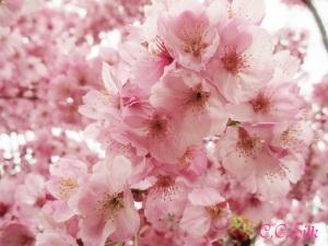 ♥待ちに待った桜満開♥