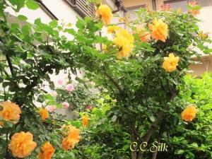 ♥サハラ、ツルのアーチに沢山の花~^^*♥